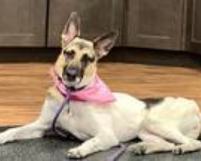 Adopt Trinity TX a White - with Brown or Chocolate German Shepherd Dog / Mixed