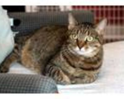 Adopt Lilly a Brown Tabby Domestic Shorthair (short coat) cat in Gaithersburg