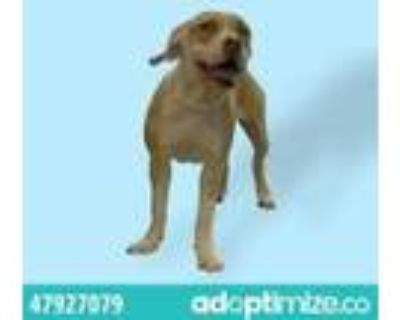 Adopt 47927079 a Brown/Chocolate Pit Bull Terrier / Mixed dog in El Paso