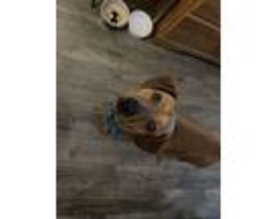 Adopt Goldie a Red/Golden/Orange/Chestnut Dachshund / Terrier (Unknown Type