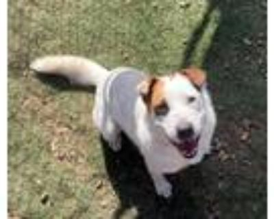 Adopt Leche a White - with Brown or Chocolate Labrador Retriever / Mixed dog in