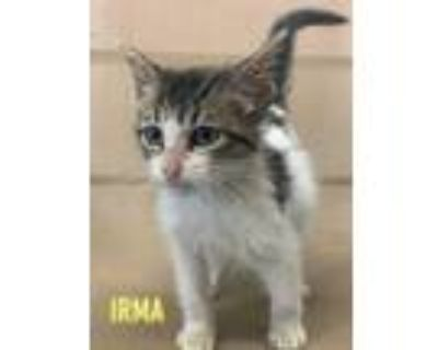 Adopt Irma a Gray or Blue Domestic Shorthair / Domestic Shorthair / Mixed cat in
