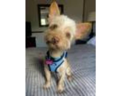 Adopt Spence a Pomeranian, Yorkshire Terrier