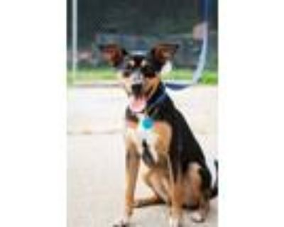Adopt Mia a Black Miniature Pinscher / Beagle / Mixed dog in New Albany