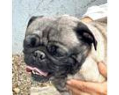 Adopt Pugsley a Tan/Yellow/Fawn - with Black Pug / Mixed dog in Oakland