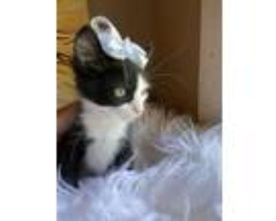 Adopt Destin a Black & White or Tuxedo Maine Coon (medium coat) cat in