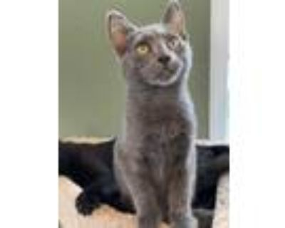 Adopt Hecter a Gray or Blue Russian Blue (short coat) cat in Arlington/Ft Worth