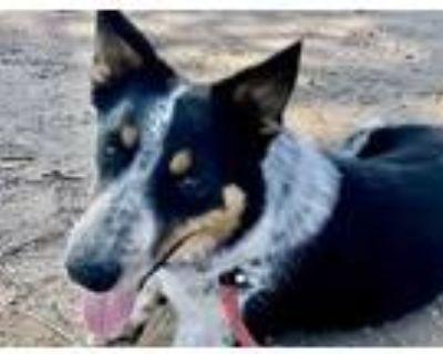 Adopt MICAH a Australian Cattle Dog / Blue Heeler, Mixed Breed