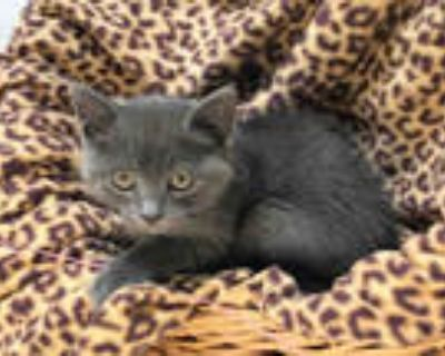 Adopt GIDEON a Gray or Blue Domestic Shorthair / Mixed (short coat) cat in
