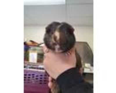Adopt Milo a Brown or Chocolate Guinea Pig / Mixed small animal in South