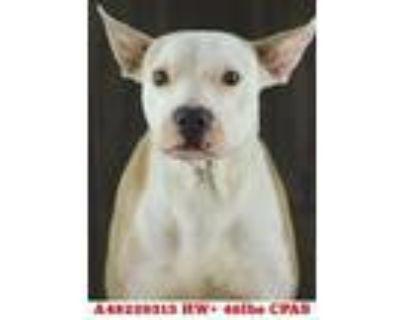Chanel, American Pit Bull Terrier For Adoption In Shreveport, Louisiana