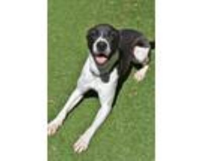 Adopt Ying a German Shepherd Dog / American Pit Bull Terrier / Mixed dog in Fort