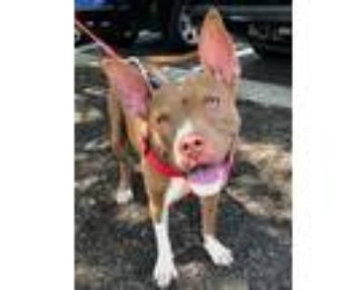 Adopt Holly *Adopt or Foster* a Brown/Chocolate - with White Pit Bull Terrier /