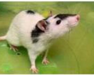Adopt Bob a White Rat / Mixed small animal in Boulder, CO (31969292)