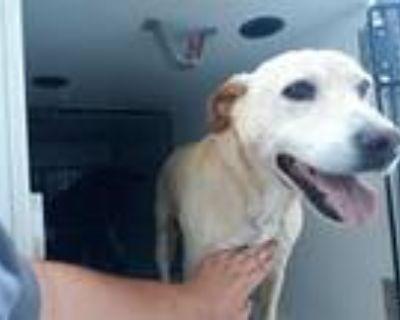 Adopt a Tan/Yellow/Fawn Labrador Retriever / Mixed dog in Houston, TX (31525246)
