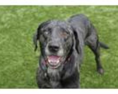 Adopt M a Catahoula Leopard Dog, Mixed Breed