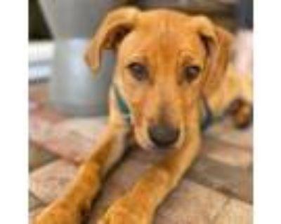 Adopt MIKE WAZOWSKI a Mastiff, Pit Bull Terrier