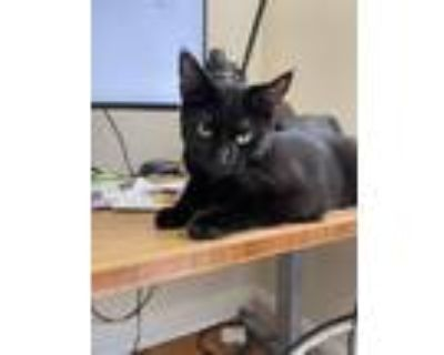 Adopt Author Kittens: E.B. a All Black Domestic Shorthair / Mixed cat in
