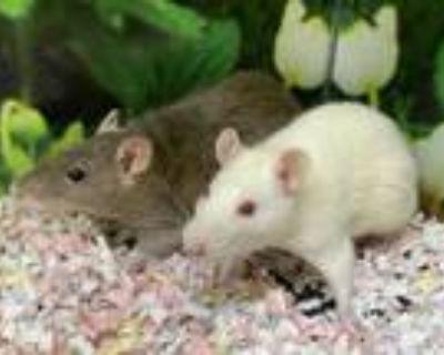 Adopt SANDY a Rat