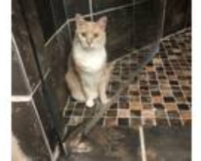 Adopt Penny a Domestic Short Hair, Maine Coon
