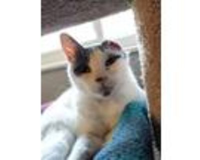 Hobgoblin, Domestic Shorthair For Adoption In Indianapolis, Indiana