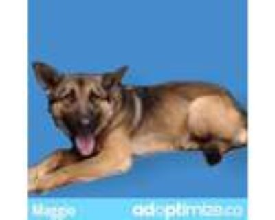 Adopt MAGGIO a Brown/Chocolate - with Black German Shepherd Dog / Mixed dog in