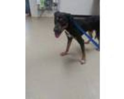 Adopt Spike a Black Doberman Pinscher / Hound (Unknown Type) / Mixed dog in Fort