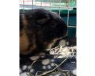 Adopt Starlight a Guinea Pig
