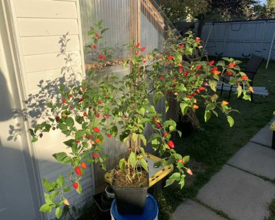 Chinese 5 colours pepper plant