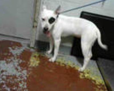 Adopt HERMIONE a White Labrador Retriever / Mixed dog in Atlanta, GA (31675935)