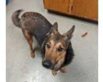 Adopt Balto a German Shepherd Dog / Mixed dog in Birdsboro, PA (31139591)