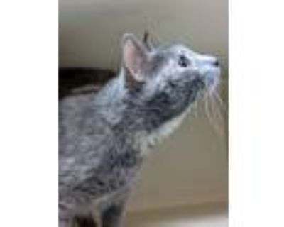 Adopt Aphrodite a Domestic Shorthair / Mixed cat in Portsmouth, VA (31512639)