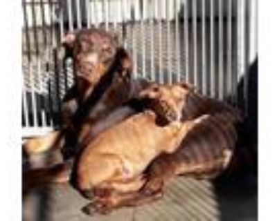 Adopt SONNY a Doberman Pinscher / Mixed dog in Van Nuys, CA (31178493)