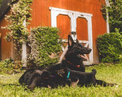 Black and Red Bi-Color German Shepherd Dog Puppies