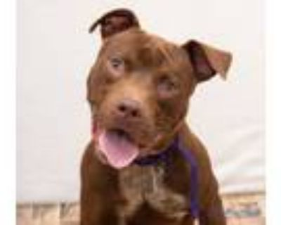 Adopt Reese 48097949 a Pit Bull Terrier