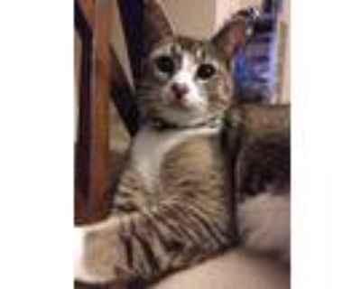 Adopt Buggs a Black (Mostly) Domestic Shorthair / Mixed (short coat) cat in
