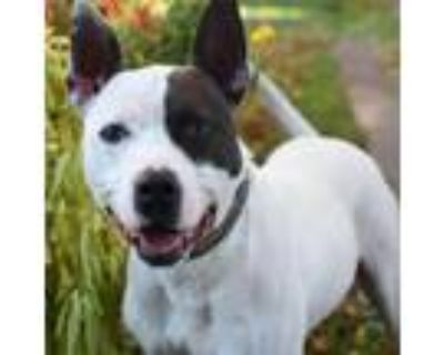 Adopt Jupiter a Pit Bull Terrier, Mixed Breed