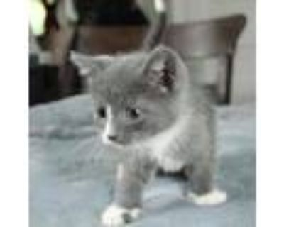 Adopt Keith a Gray or Blue Domestic Shorthair / Mixed cat in Fairfax