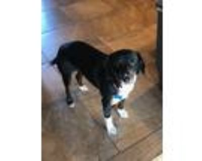 Adopt Helen a Black - with White Hound (Unknown Type) / Border Collie / Mixed