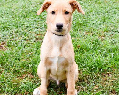 Sherlock 11750 - Retriever, Labrador/Mix - Puppy Male