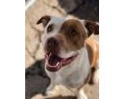 Adopt TRITAN a Brown/Chocolate - with White American Pit Bull Terrier / Mixed