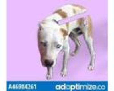 Adopt Ozzy a White Labrador Retriever / Mixed dog in El Paso, TX (31525927)