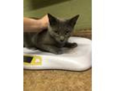 Adopt WASH a Gray or Blue Domestic Shorthair / Mixed (short coat) cat in