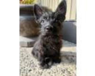 Adopt Scotty a Scottish Terrier