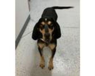 Adopt Kiri Te a Bluetick Coonhound / Mixed dog in Park City, UT (32007753)