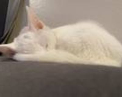 Adopt Barney a White Domestic Shorthair / Mixed (short coat) cat in Oakdale