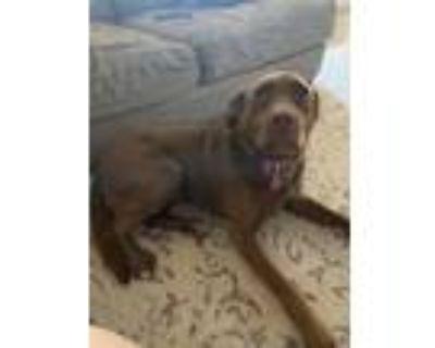 Adopt Bella a Brown/Chocolate - with White Labrador Retriever / Retriever
