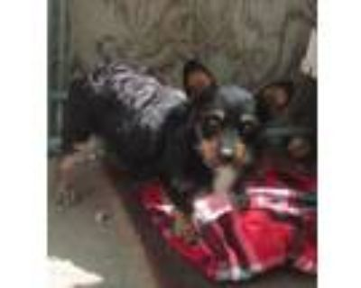 Adopt Stone a Tricolor (Tan/Brown & Black & White) Corgi / Mixed dog in Apple
