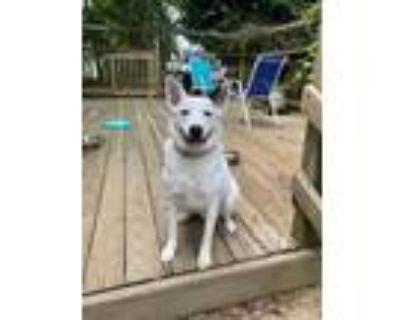 Adopt Polo a Australian Cattle Dog / Blue Heeler, Border Collie