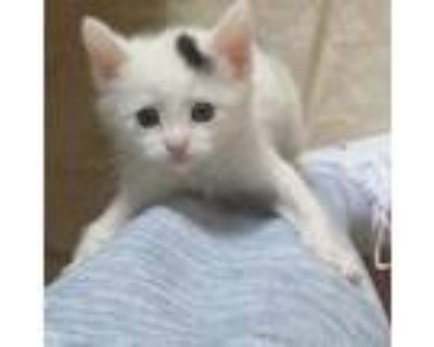 Adopt Lilo a White Domestic Shorthair / Domestic Shorthair / Mixed cat in